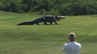 Un caimán gigante se pasea tranquilamente por un campo de golf en Florida