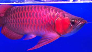 getlinkyoutube.com-THE KING ARROWANA SUPER BLOOD RED STRAIGHT SCALES DRAGON