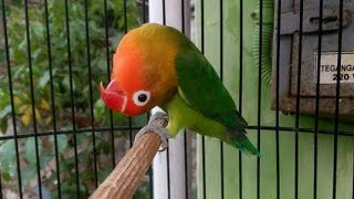 Lovebird CANDIT bikin lawan terserang STROKE!
