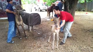 getlinkyoutube.com-Thai pony semen collection