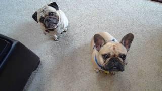 Pug and French Bulldog