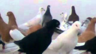 getlinkyoutube.com-احدث انواع الطيور في العالم