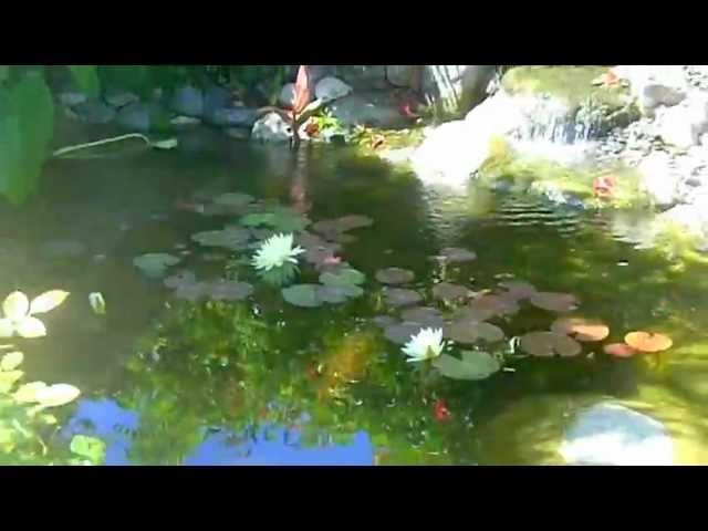 Koi Pond Backyard Paradise Manhattan Beach Enviroscape LA