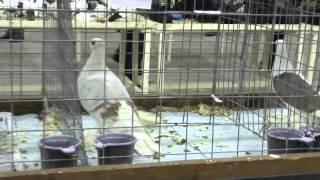 getlinkyoutube.com-Обзор федеральной выставки голубей в Москве 2015
