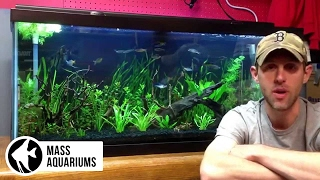 getlinkyoutube.com-Common Pleco in the planted tank. Avoid it and save your self the trouble.