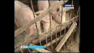 На Ставрополье запретили ввоз свинины из Крыма
