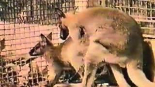 getlinkyoutube.com-kangaroo breeding, mating younger    YouTube