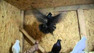 getlinkyoutube.com-Северокавказские бойные голуби