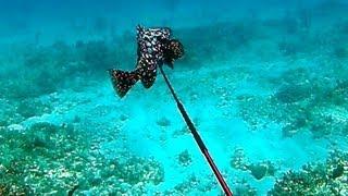 getlinkyoutube.com-Spearfishing Rare Marbled Grouper - Bahamas Part 2 (Ted's HoldOver)