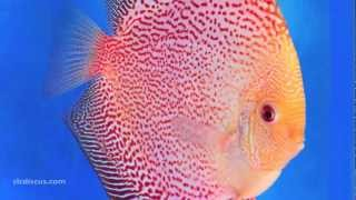 getlinkyoutube.com-Discus Fish Gallery
