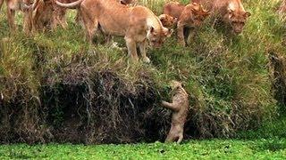 getlinkyoutube.com-Lion Cub Falls in the Water - Little Big Cat - BBC