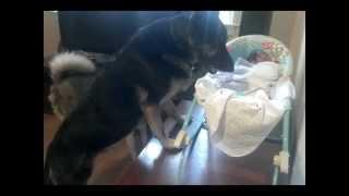 getlinkyoutube.com-German Shepherd Protecting Newborn Baby!