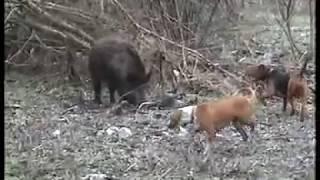 getlinkyoutube.com-Posavka i balkanac-divlja svinja
