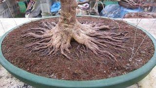 getlinkyoutube.com-Trabalhando o nebari (raízes) de um futuro Bonsai - 37
