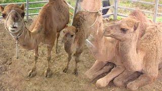 getlinkyoutube.com-'낙타의 눈물' 몽골 악기 연주에 눈물 흘리는 사랑이 @TV 동물농장 20161204