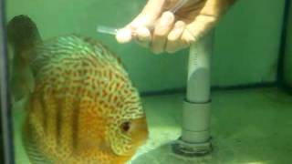 Lucky Tropical Fish Farm Moving discus fry to foster parent part 1