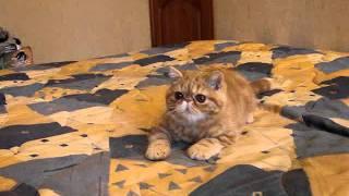 getlinkyoutube.com-Рыжий котенок экзот