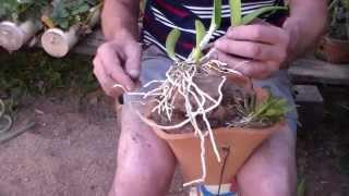 getlinkyoutube.com-Como plantar orquídeas na madeira