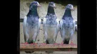 getlinkyoutube.com-Taimur Khans Taidy Pigeons In Uk(07882026878).wmv