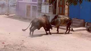 Bull fight in India at rural places