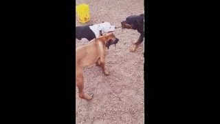 getlinkyoutube.com-EPIC TUG OF WAR: Pitbull vs Rottweiler - Rhodesian Ridgeback English Bulldog