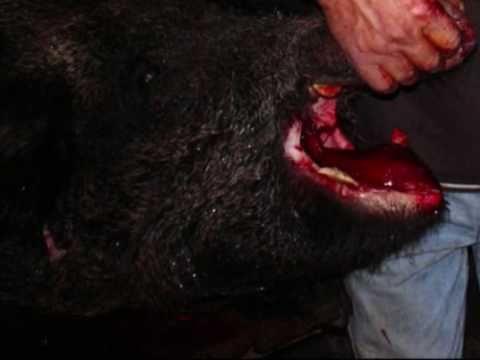 battuta al cinghiale in calabria ad andali cz  146 kg, cani da caccia  in calabria.wmv