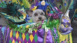 Rescued Dogs Dress in Feathers, Beads and Masks To Celebrate 'Doggie Gras'