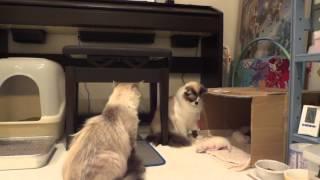 他の猫が子猫をいじくっていたら、母猫が・・・ついに一撃。an angry mother cat attacks brutally
