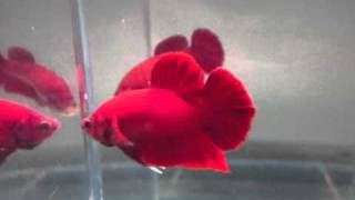 getlinkyoutube.com-SUPER RED HMPK pair