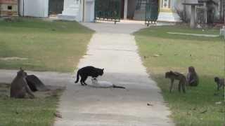 getlinkyoutube.com-Monkeys Break up Cat Fight