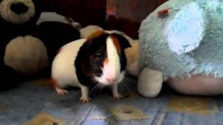 getlinkyoutube.com-Морская свинка прыгает как козлик!!! Смотреть всем)