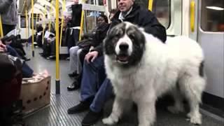 getlinkyoutube.com-Самые большие собаки Мира