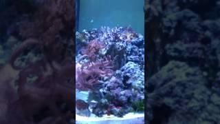 Yellow edged or yellow margin moray eel juvenile  in reef tank ....