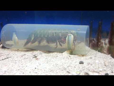 Peacock Mantis shrimp eating a goldfish