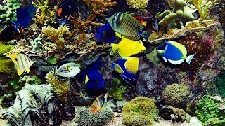getlinkyoutube.com-✔ Beautiful Real Colourful Marine Fish Aquarium! (29:00) Relaxing Natural Sounds~Nice HD