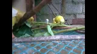 the angry birds meets the parakeet 2 (kankong edition)