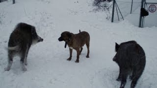 getlinkyoutube.com-Dog Tosa Inu and Wild Boars