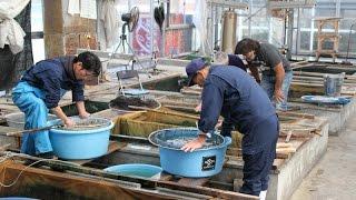 getlinkyoutube.com-Sakai Fish Farm October 2014 - part 1 - ATB TV Japan tour
