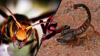getlinkyoutube.com-Scorpion vs Giant Hornet - 巨大なスズメバチ対サソリ