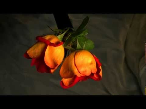 """Death of a Rose"" Time Lapse - 1080p"