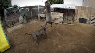 getlinkyoutube.com-AMAZINGLY MUSCLED UP BULLY DOG SHOWS OFF JUMPING ABILITY