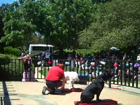 GDB Clicker Guide Dog Training Demo Part I