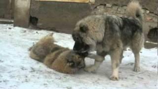 getlinkyoutube.com-Кавказская овчарка - Бархан Душа Волка, память.avi