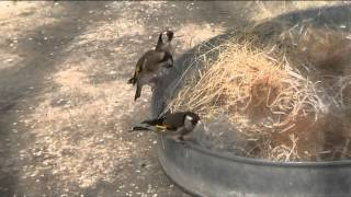 getlinkyoutube.com-Goldfinches hen into the action