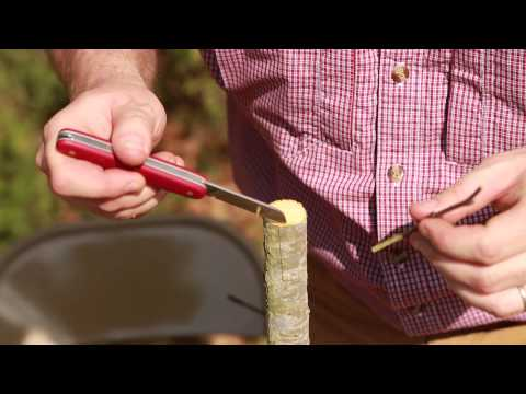 Grafting Trees - How to Graft a Tree