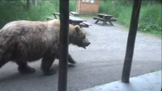 Must See!!!! Huge Brown Bear walking past Brooks Lodge Ranger Station. HD