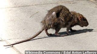 getlinkyoutube.com-'Rat Girl' Breeds, Unleashes Rats Across San Francisco
