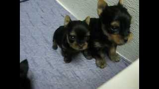 getlinkyoutube.com-Shimmer Jet Yorkie puppies 5 weeks old