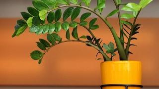getlinkyoutube.com-Долларовое дерево ЗАМИОКУЛЬКАС. Растение, приносящее удачу. Уход и размножение