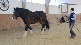 getlinkyoutube.com-Bella - ein Shire Horse an der Doppellonge